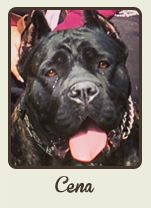 A Glen Saxon Kennels Cane Corso Breeder Our Dogs