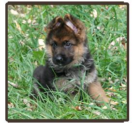 A Glen Saxon Kennels - German Shepherd Dog Breeders - About Us
